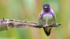 An amethyst in bird-form, meet the Costa's Hummingbird. A desert hummingbird, Costa's Hummingbird breeds in the Sonoran and Mojave Deserts of California and Arizona.