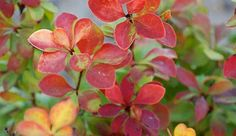 "barberry  ""sunjoy"""