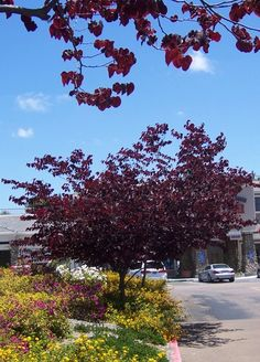 The 2 Minute Gardener: Photo - Forest Pansy Redbud (Cercis canadensis 'Forest Pansy'), tried growing in lower south, did not survive:( Trees And Shrubs, Flowering Trees, Street Trees, Landscaping Plants, Landscaping Ideas, Hardy Plants, Backyard Retreat, Garden Trees, Gardens