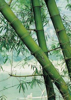 Cómo cortar y secar el bambú