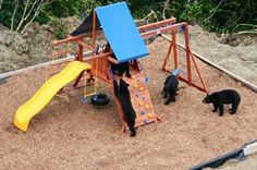 In another back yard, four Black Bears are checking out a child's play set.