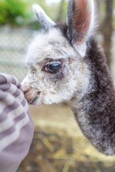 Baby Alpaca, Alpaca My Bags, Cute Alpaca, Alpacas, Cute Funny Animals, Cute Baby Animals, Animals And Pets, Small Animals, Farm Animals