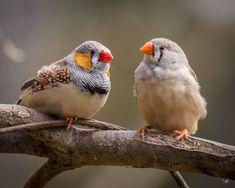 Scientists Implant False Memories into Bird Brains Welcome Photos, Zebra Finch, Different Birds, Distinguish Between, Bird Species, Zebras, Flocking, How To Memorize Things, Memories