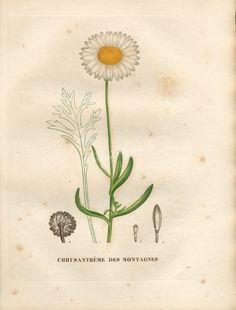 1829 - La flore et la pomone francaises - Biodiversity Heritage Library Et Movie Poster, Closer To Nature, Plant Species, Fauna, Flower Pictures, Chrysanthemum, Botanical Illustration, Botany, White Flowers