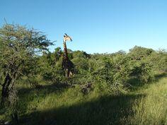 Giraffe - Londolozi Lodge Game Reserve - South Africa
