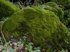 Like other plants, moss plants make their own food by photosynthesis. All of the cells in a moss plant can photosynthesize, thanks to their chloroplasts, so moss plants don't need a circulatory or vascular system.