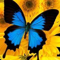 Figura de borboleta azul e preto com fundo de margaridas amarelas