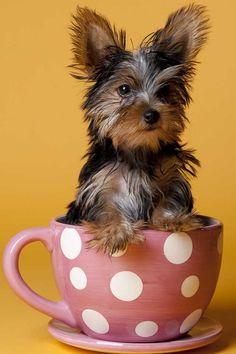 Ser de pequeño tamaño también tiene grandes ventajas. #perros #dogs #mascotas #pets #funny #divertido #gracioso #cute