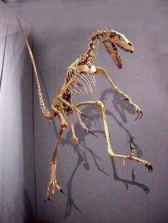 Velociraptor au Mesalands Dinosaur Museum, Tucumcari, New Mexico
