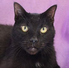 Miles was found in an abandoned house. He is 13 years of age, exceptionally affectionate, and very content to be cuddled in your arms. Miles is good with other cats, neutered, and ready for adoption at Nevada SPCA (www.nevadaspca.org).