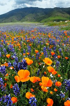Springtime in California: poppies and lupine (?) in bloom -- stunning sight!