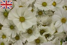 White British 'Cosmos' blooms at New Covent Garden Market - September 2015