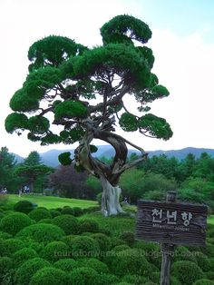 Millenium Juniper- the 1000-year old Chinese in The Garden of Morning Calm, Sth. Korea.