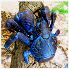 Coconut Crab: The Coconut Crab is the only species of the genus Birgus and is related to the terrestrial hermit crabs of the genus Coenobita ~ [Wikipedia]