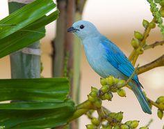 """Blue-gray Tanager (Thraupis episcopus).Conocida como """"viudita"""" en Costa Rica"""