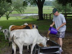 Are Miniature Zebu Right For You?  Would love one for dairy.