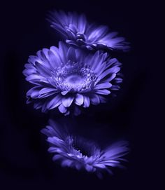 Image detail for -Meaning of Purple Flowers – Wonderfully Beautiful Flower with Vivid . Amazing Flowers, Purple Flowers, Beautiful Flowers, Blue Daisies, Gerbera Daisies, Purple Daisy, Periwinkle, Purple Wallpaper, Flower Wallpaper