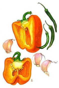 Botanical Drawing - Garlic and Orange Paprika Drawing