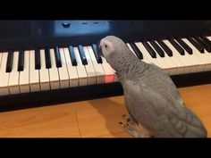 This African grey parrot plays tune on piano. African grey parrots are not just top talkers, these birds are also known for their extreme intelligence. Charmed Tv, African Grey Parrot, Animal Antics, Playing Piano, Funny Birds, Rock Painting Designs, Homemade Toys, Cute Gif, Parrots