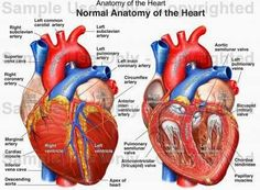Human Anatomy and Physiology Diagrams: Coronary heart Anatomy – free medical books Medical Coding, Medical Art, Medical School, Medical Drawings, Medical Careers, Cardiothoracic Surgery, Subclavian Artery, Medical Anatomy, Cardiac Anatomy