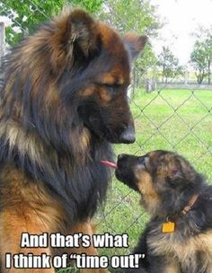Wicked Training Your German Shepherd Dog Ideas. Mind Blowing Training Your German Shepherd Dog Ideas. Big Dogs, I Love Dogs, Cute Dogs, Dogs And Puppies, Long Haired German Shepherd, German Shepherd Puppies, German Shepherds, Blue German Shepherd, Shiloh Shepherd