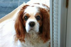 MY DEAREST CHLOE, PASSED AT AGE 14 1/2 AUG. 5, 2013, Blenheim Cavalier King Charles Spaniel - EK