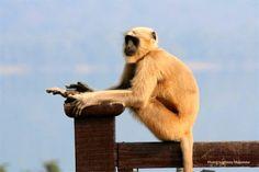 Relaxing...langur in Nainital, India