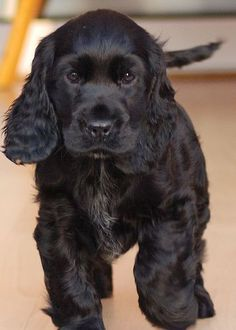 Beautiful black Cocker Spaniel pupster