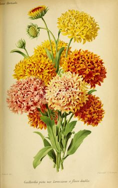 flowers-27892 - gaillardia picta lorenziana yellow flowers bouquet floral botanical illustration from ancient book high resolution image jpg data-share-from=listing > <span class=etsy-icon