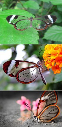 Glasswing Butterfly.