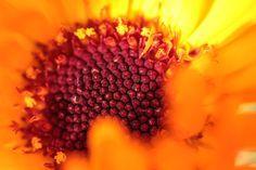 Namakwaland daisy