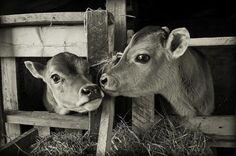 Jersey kalfjes die elkaar besnuffelen.  Meer over koetjes en kalfjes? Ga naar: http://www.milkstory.nl/artikel/fotoblog-een-dagje-helpen-bij-melkveebedrijf-het-gasthuis