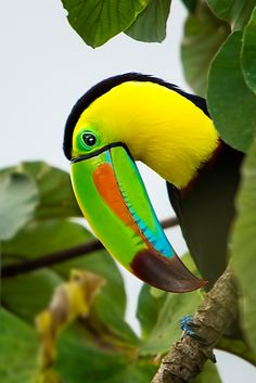 Keel-billed-Toucan - males and females are indistinguishable. They nest in tree cavities and raise one to five young. Both the male and female incubate the eggs and take turns feeding them.