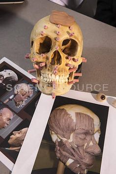BV6253:Forensic Anthropology, 3D Facial Reconstruction   ©Richard T. Nowitz/Science Source #sciencesource #forensics #skull