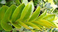 ZAMIOCULCAS - ( Zamioculcas zamiifolia ) - Meu Cantinho Verde