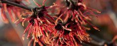 Witch hazel, Hamamelis intermedia Feuerzauber (orange red)