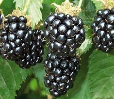 Blackberry plants-Looking to buy a mature and affordable blackberry bush? We sell several blackberry bushes and boysenberry bushes at low grower prices.