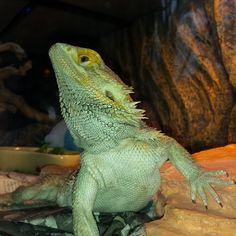 #chinup If you're ever having a bad day, be like Buddy and keep your chin up. #buddy #beardeddragon #lizard #dragon #beardiebuddy #misterfitshace #mr_fitshace #fitshace #mister_fitshace #saturday #2015 #march #rainyday