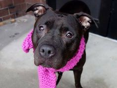 TO BE DESTROYED - 04/22/14  Manhattan Center   BECKY - A0995939  FEMALE, BROWN / WHITE, PIT BULL MIX, 5 yrs OWNER SUR - EVALUATE, NO HOLD Reason INAD FACIL  Intake condition NONE Intake Date 04/07/2014, From NY 10451, DueOut Date 04/07/2014, https://www.facebook.com/photo.php?fbid=784520608227487&set=a.617938651552351.1073741868.152876678058553&type=3&theater