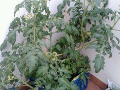 tomateras cargaditas