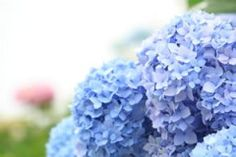 die besten 25 blaue hortensie ideen auf pinterest hortensien ins blaue und blaue blumen. Black Bedroom Furniture Sets. Home Design Ideas