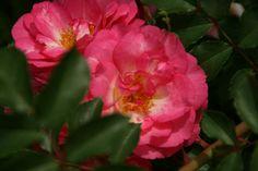 Sunrise Sunset Rose Shrub Rose Walk Minnesota Landscape Arboretum Photograph Taken: 06/26/2014