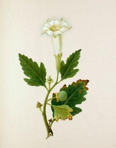 Datura metel -- Illustrations -- Flowers -- RHS Prints