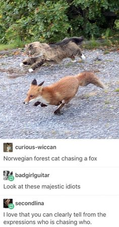 Epic chase between cat and fox funny pics, funny gifs, funny videos, funny memes, funny jokes. LOL Pics app is for iOS, Android, iPhone, iPod, iPad, Tablet