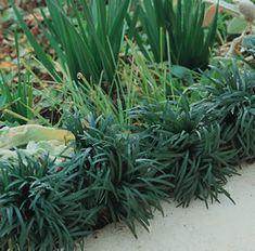 Mondo Grass Dwarf Green for garden boarder