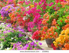 Large Pots of Bougenvilla in sunset shades for patio ..ill take them all pls *-*