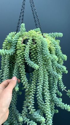 - House Plants - How to propagate and care for burro's tail sedum Learn how to properly care for and propagate burro's tail or donkey sedum. These succulents make great houseplants and are easy to care for. Visit the. Crassula Succulent, Sedum Plant, Succulent Gardening, Succulent Care, Garden Plants, Succulent Containers, Vegetable Gardening, Plants Indoor, Plant Propagation