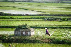 Vietnam. Nam Dinh. Man walks across rice fields