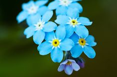 """Alaska's State Flower is the """"Forget-Me-Not"""""""