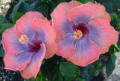 Big Bad Flower - Voodoo Queen hibiscus, $24.99 (http://www.bigbadflower.com/tropicals/voodoo-queen-hibiscus/)